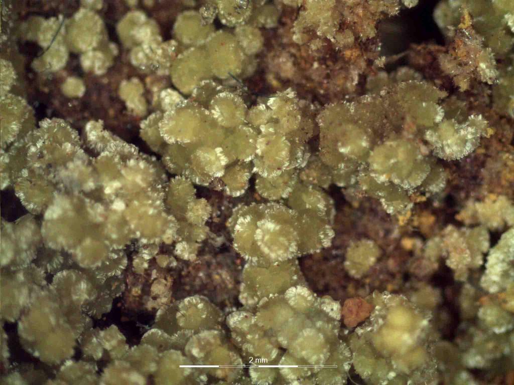микрофото на образец с иларионит под бинокулярен микроскоп